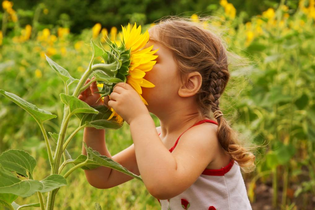 SHINE: Nothing says summer like a sunflower. Picture: Shutterstock.